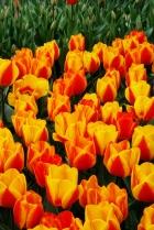 Lalele/Tulips, April 2014