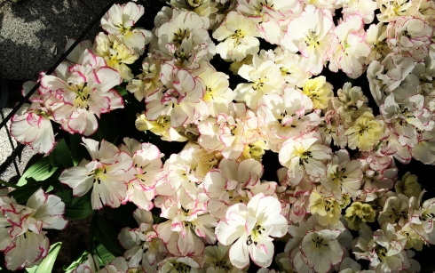 Keukenhof, white tulips