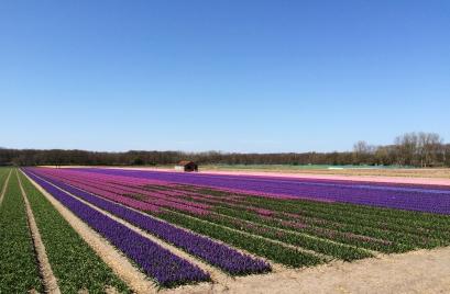 Bloemendaal, hyacinth fields