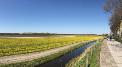 Bloemendaal, dafodils field