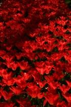 Keukenhof, red