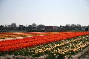 Keukenhof, tulips and dafodils field